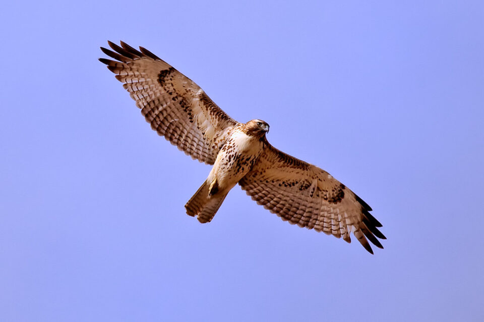 Red-tailed Hawk (Southwestern)