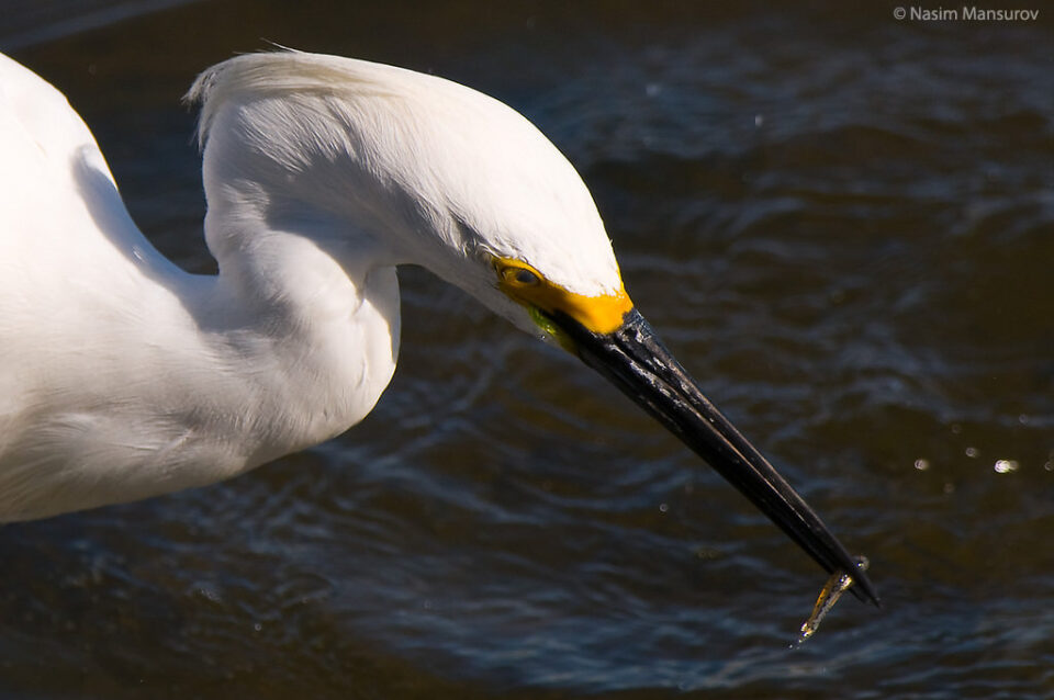 Snowy Egret with Fish Closeup