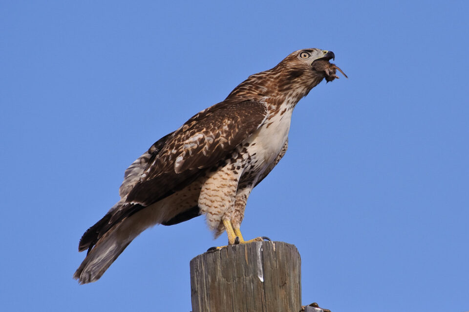 Hawk eating a mouse #2