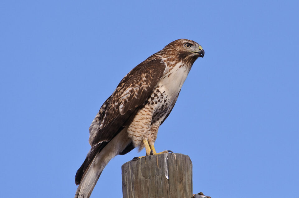 Hawk with a mouse