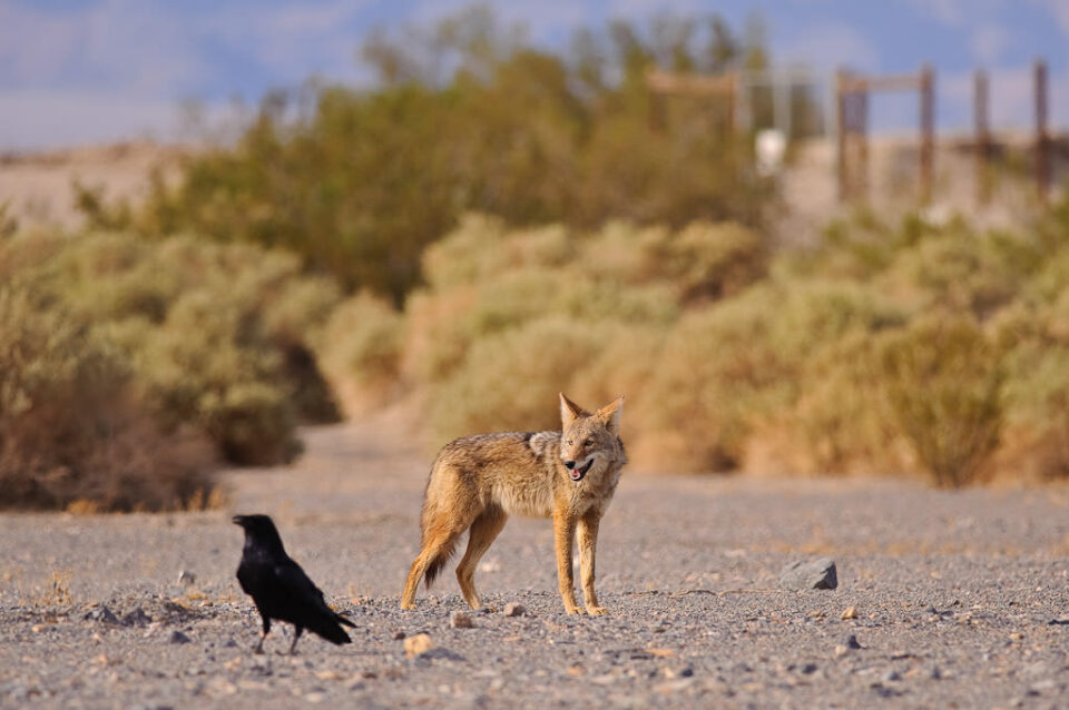 Coyote looking at a crow