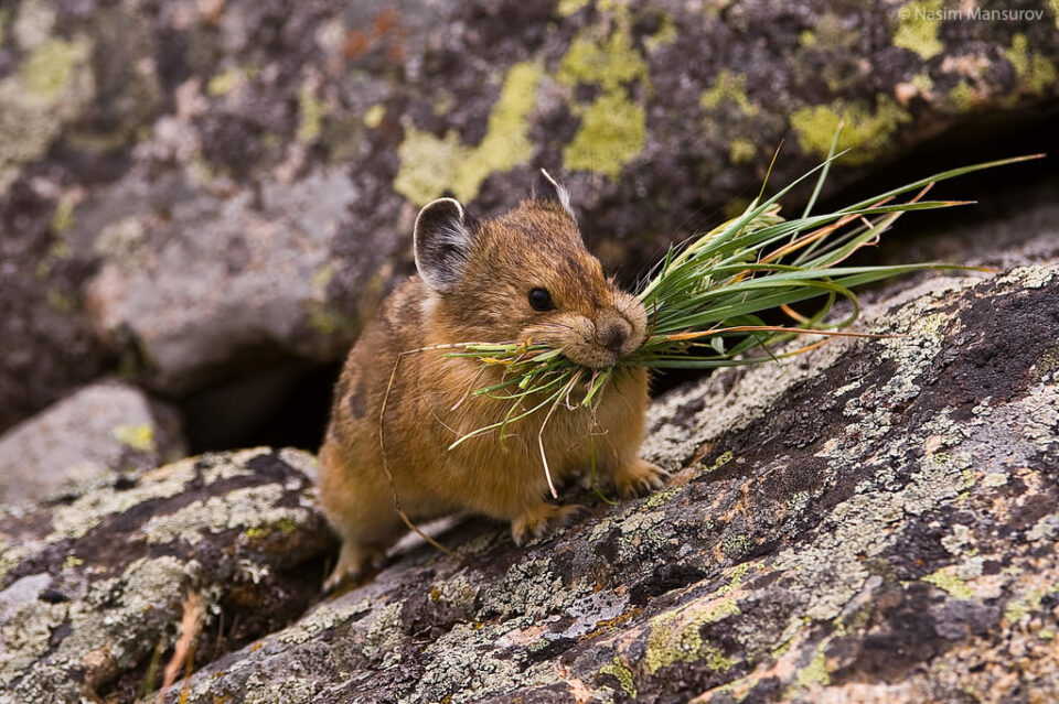 American Pika with Food