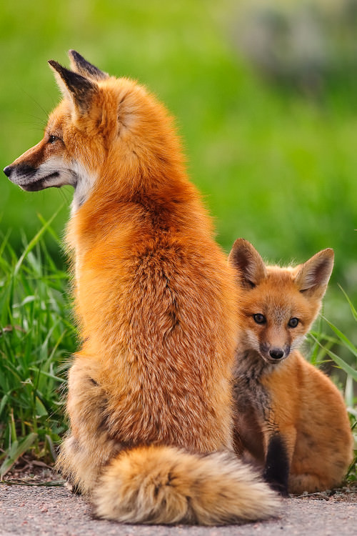 Red Fox Kit with Mommy