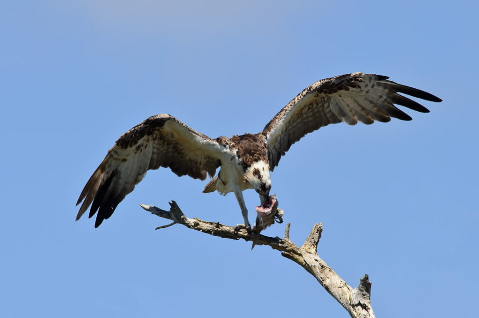 Osprey Eating Fish