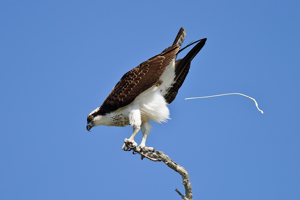 https://cdn.photographylife.com/wp-content/uploads/2010/07/Osprey-Pooping.jpg
