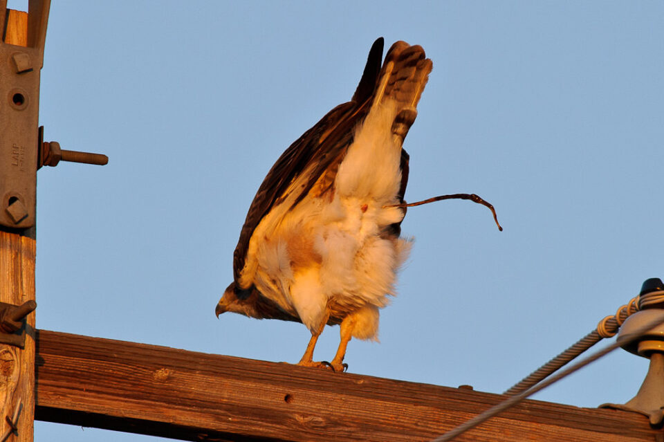 Red-tailed Hawk Pooping