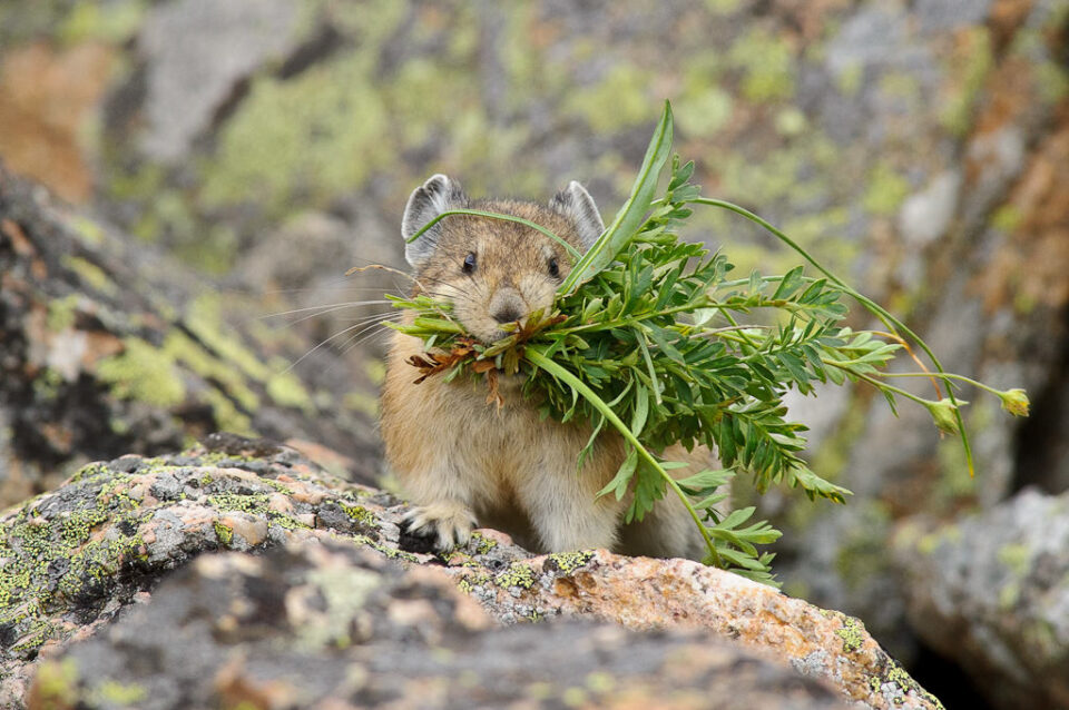 Mountain Pika with Grass