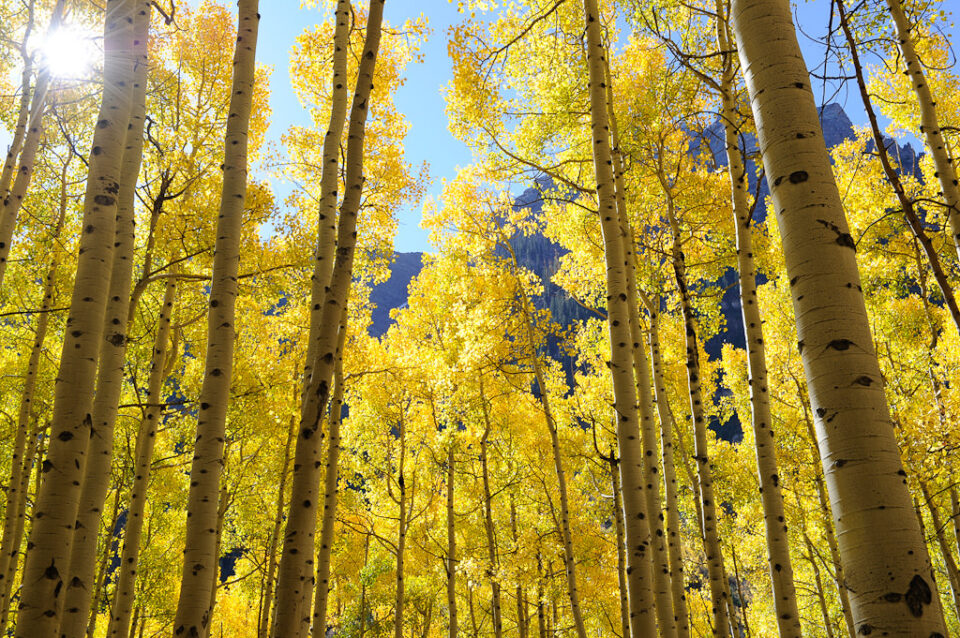 Fall Aspen Colors