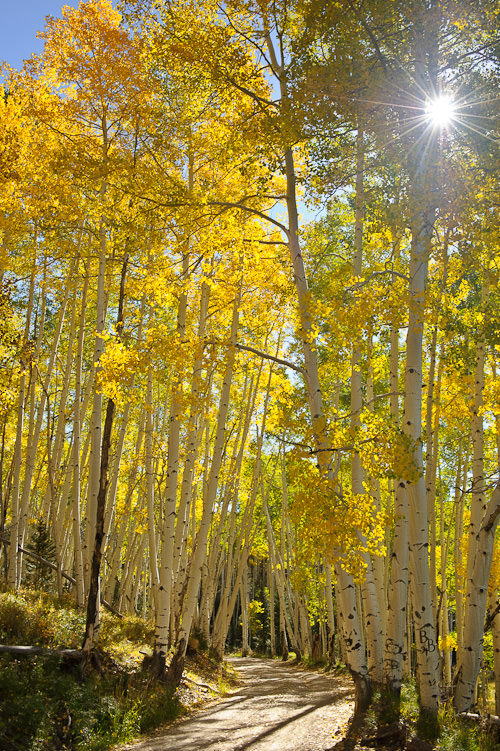 Sun through Aspens