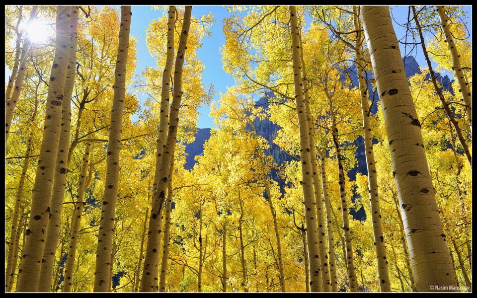 Aspens Wallpaper