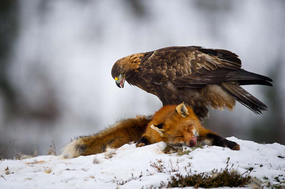 Golden Eagle on Fox