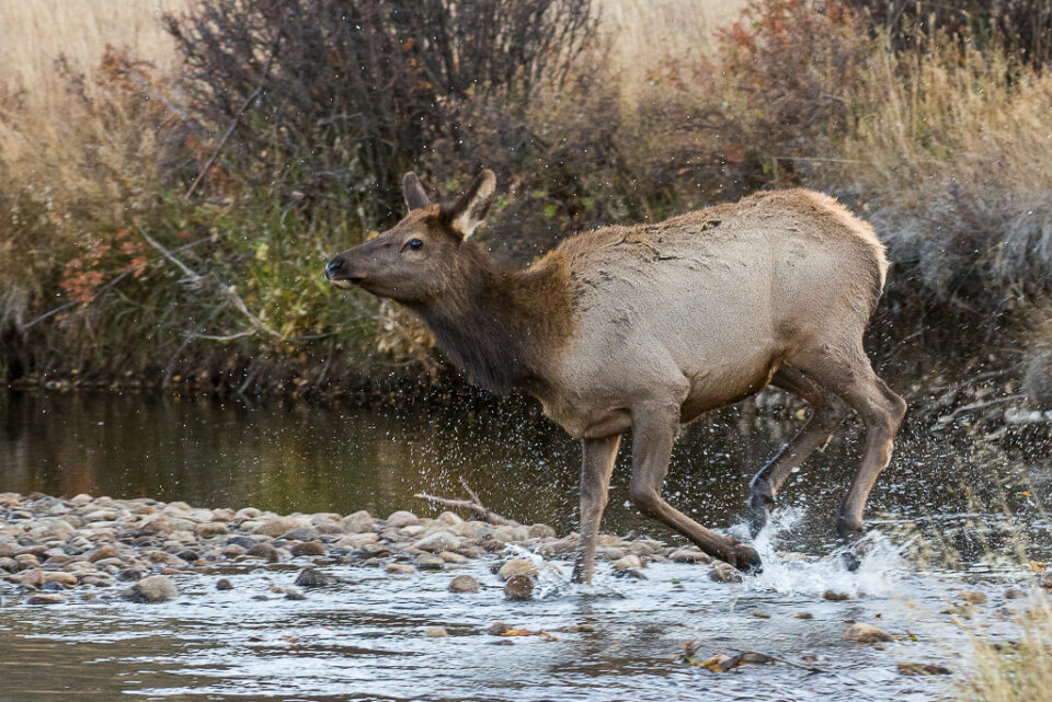 Female Elk Crossing River