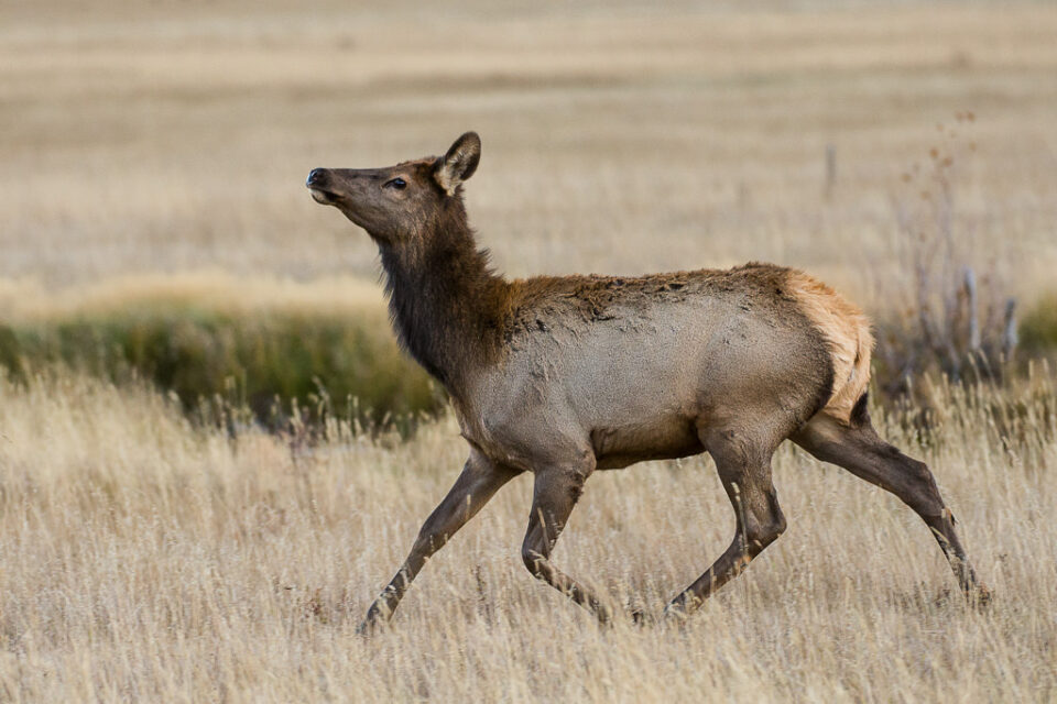 Female Elk Running
