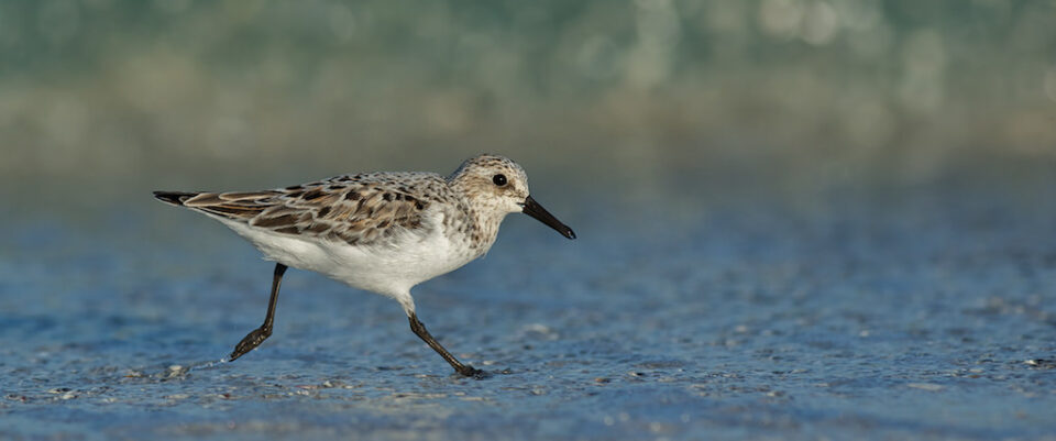 Shorebird Running in Surf