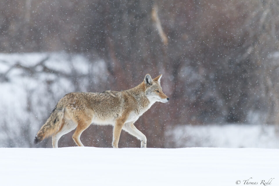 Coyote Stroll in the Snow