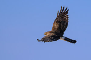 Northern Harrier in Flight #1
