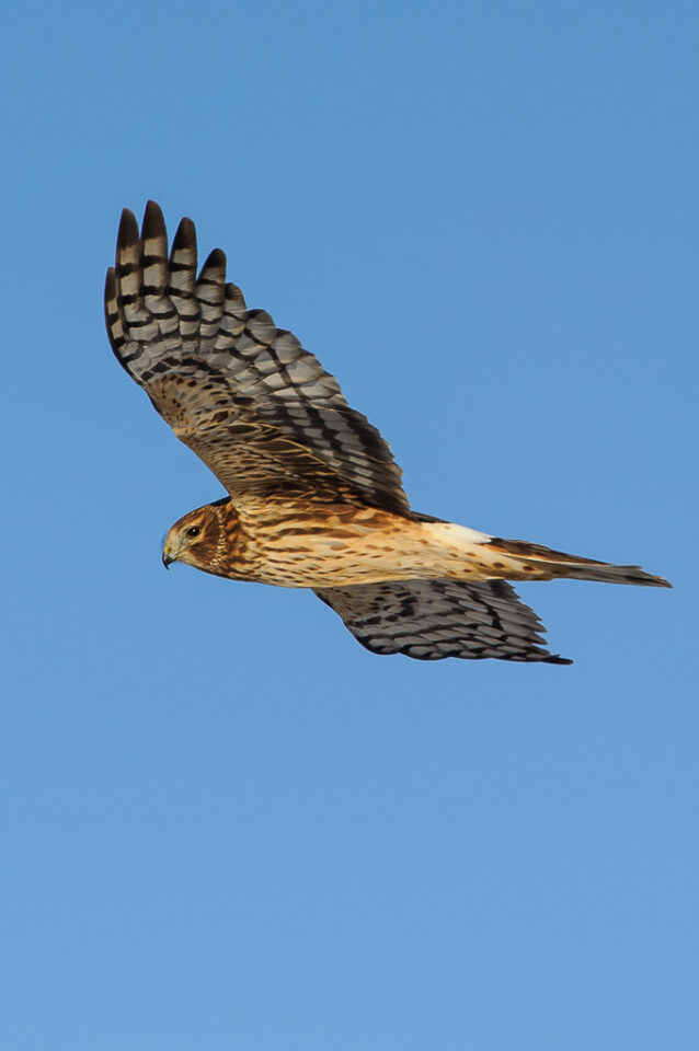 Northern Harrier in Flight #2