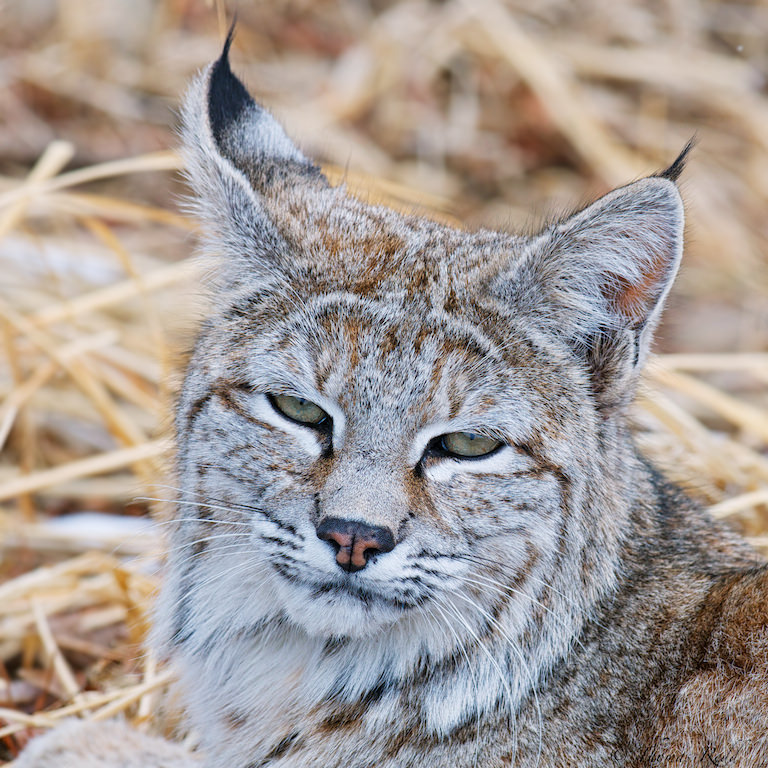 Bobcat Profile Photo