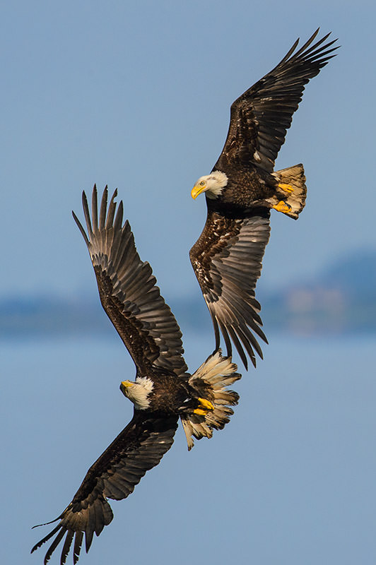 Bald Eagles in Air