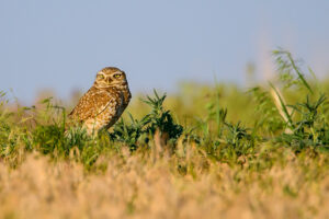 Burrowing Owl - Nikon 80-400mm + 1.4x TC