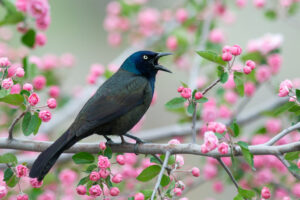 Grackle in Crabapple Blossoms