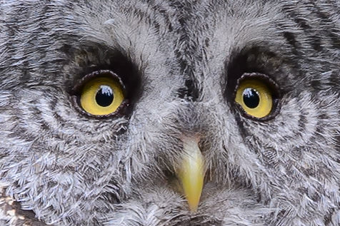 Great Gray Owl 100% Crop