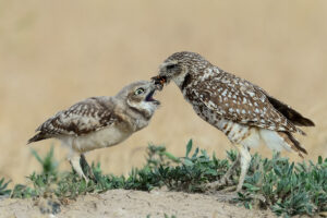 Burrowing Owl Feeding Chick