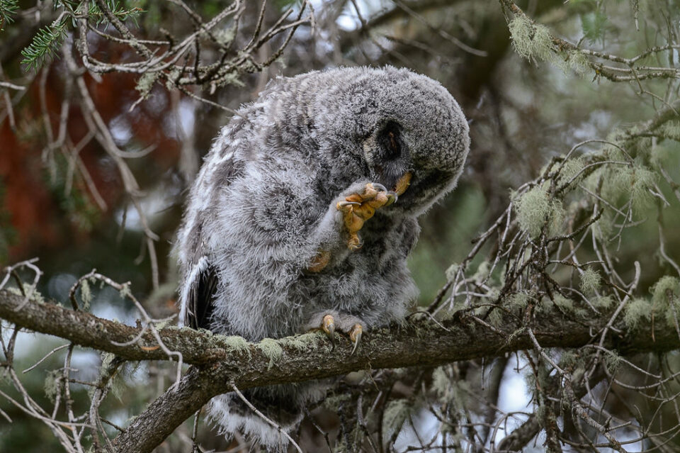 Gray Owl Chick