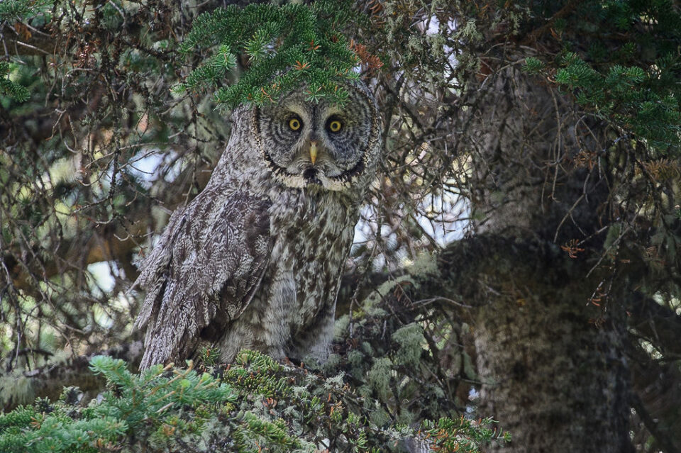 Gray Owl Hiding
