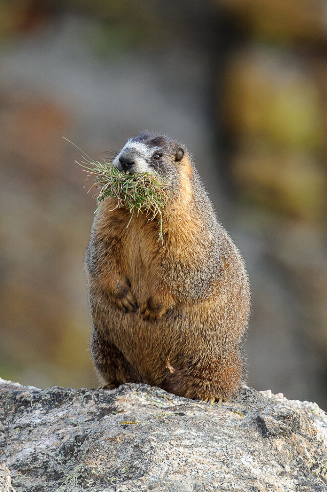 Marmot with Grass #1