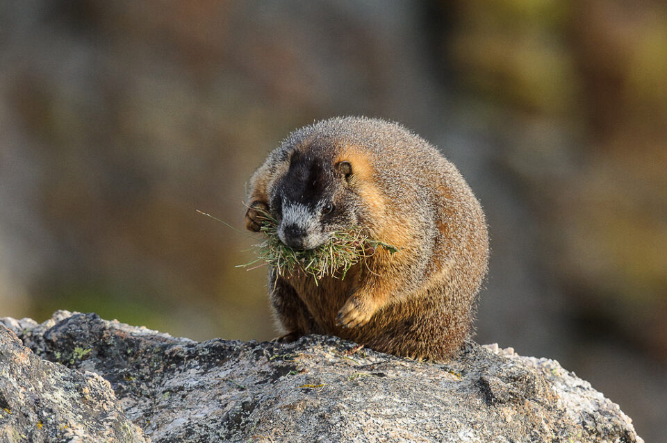 Marmot with Grass #2