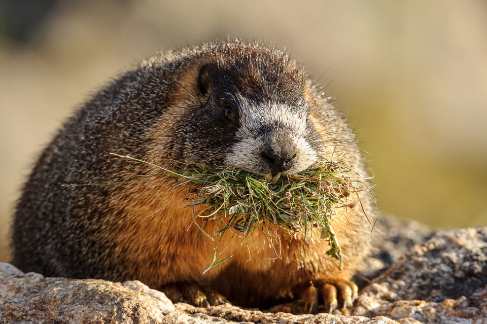 Marmot with Grass #3