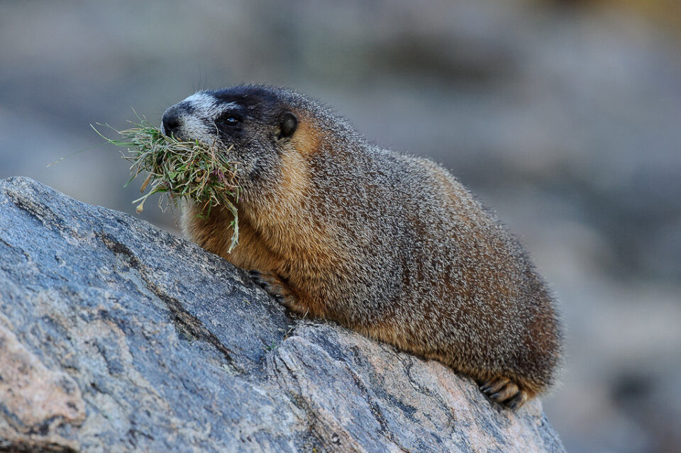 Marmot with Grass #4