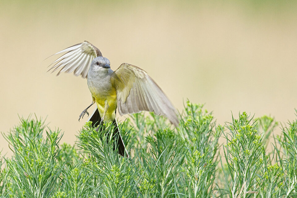 Western Kingbird Taking Off