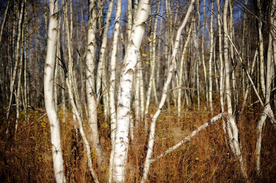 Birches in the autumn light @ f/1.2 (with spherical aberration)