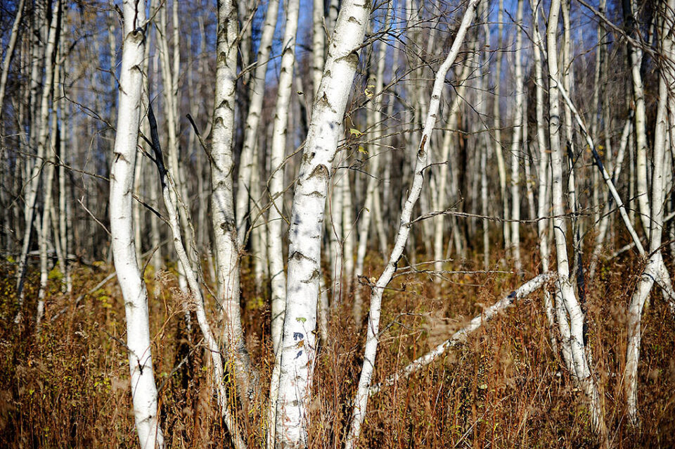 Birches in the autumn light @ f/2.0