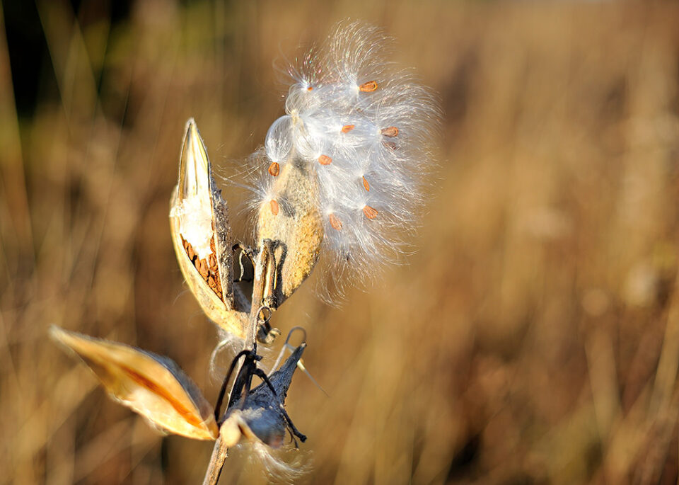 Common Milkweed @ f/2.0 #2