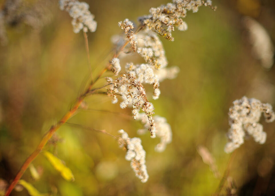 Golden rod @ f/1.2