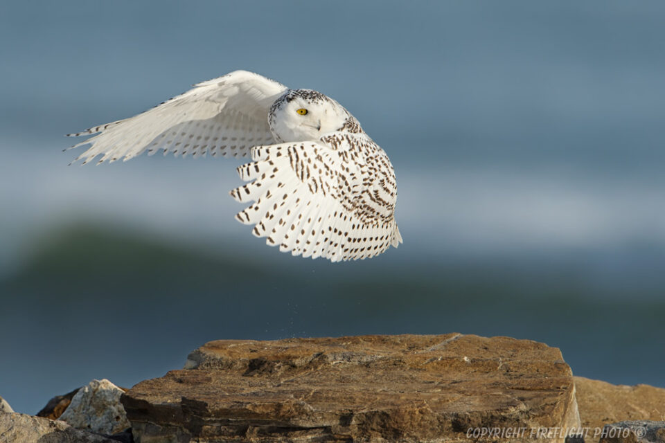 Snowy Owl Launching from Rock