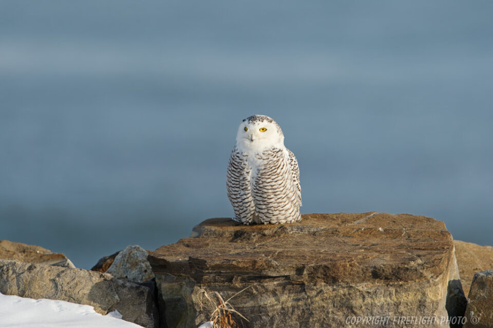 Snowy Owl Photography Life Article #2