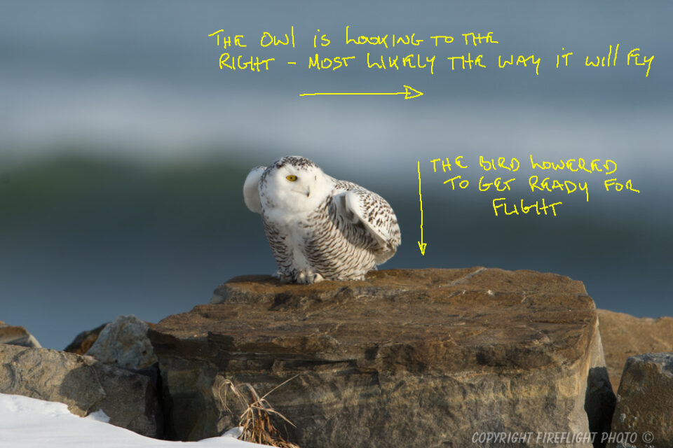 Snowy Owl Photography Life Article #3