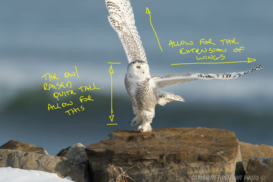 Snowy Owl Photography Life Article #4
