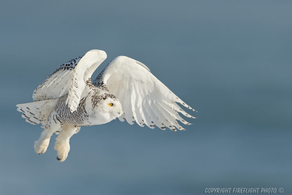 Snowy Owl In Flight Sea Behind