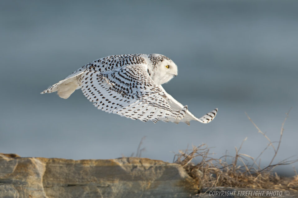 Snowy Owl Photography Life Article #7