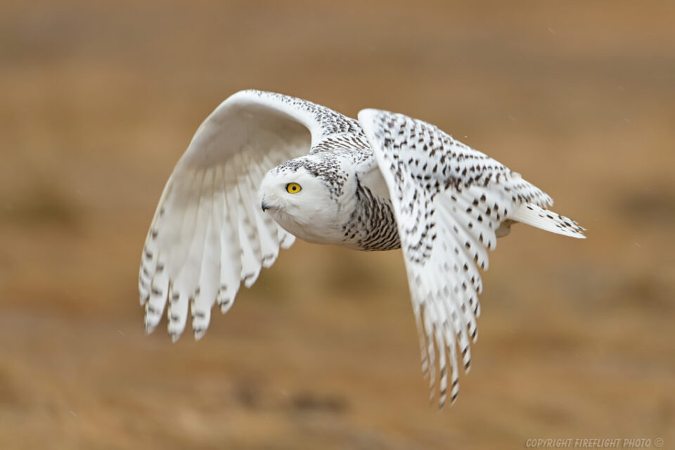 Snowy Owl Hunting in Marsh