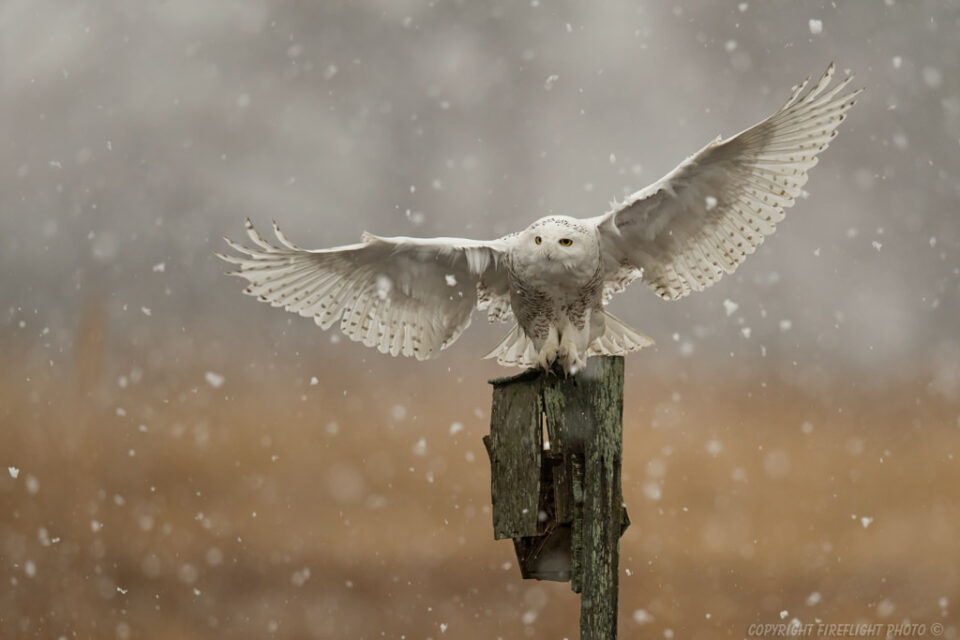 Snowy Owl with Rodent Landing Shot