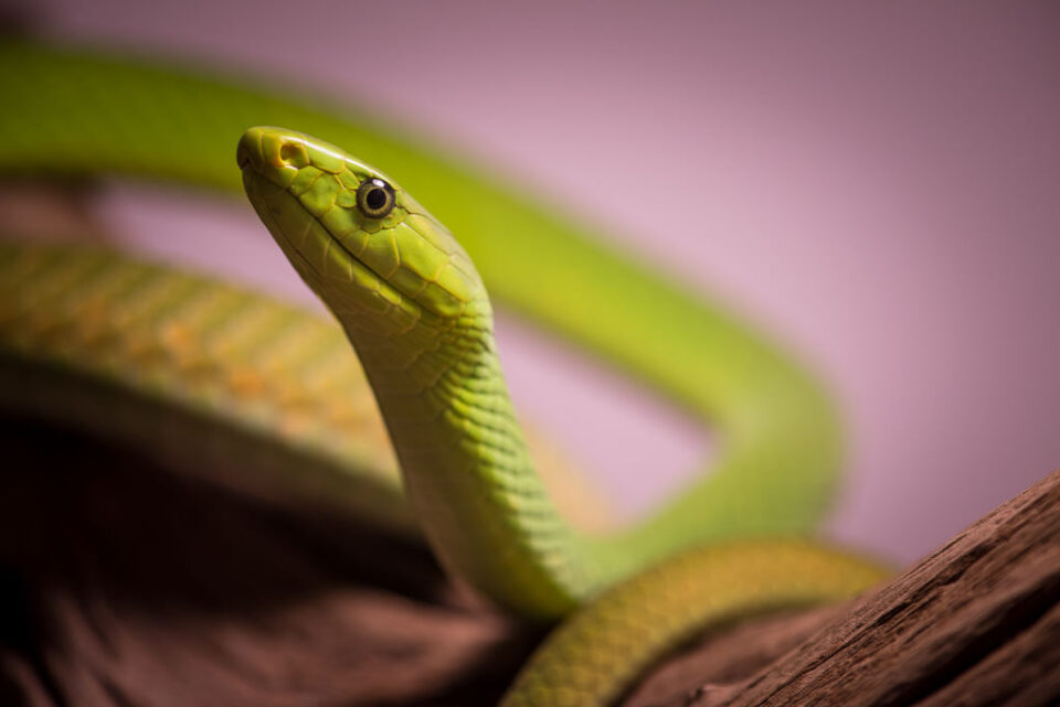 Verm East African Green Mamba captive Kentucky Reptile Zoo