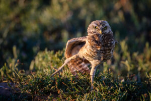 Burrowing Owl Shaking Off