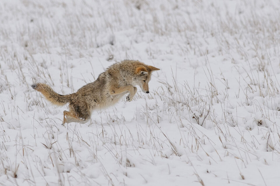 Coyote Hunting Jump