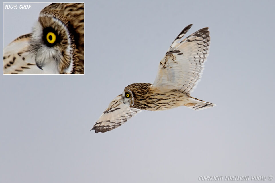 Short-eared Owl in Flight over Marsh Area
